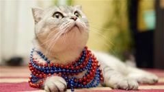 Scottish fold cat with beads Stock Footage
