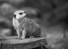 Alert Suricate or Meerkat in black and white - stock photo