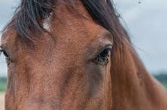A lot of flies is near the eye of horse Stock Photos