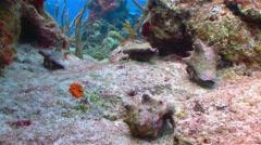 Blue ocean hermit crab - stock footage