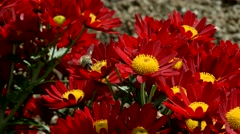 A honey bee collecting nectar from a red chrysanthemum flower 3 - stock footage