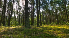 4k Timelapse of morning pine forest in summer Stock Footage