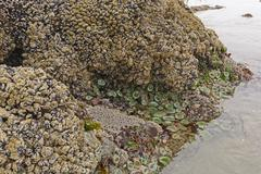 Stock Photo of Barnacles, Clams, and Anemones at Low Tide