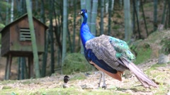 Peacock standing in the forest Stock Footage