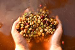 Coffee beans,In the ferment and wash method - stock photo