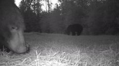 Black Bears - stock footage