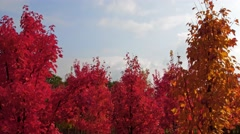 Nursery garden with red trees into the sky Stock Footage