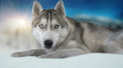 Dog siberian hasky on winter background. 4K high detailed footage. - stock footage