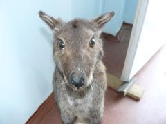 Kangaroo in the human dwelling Stock Photos
