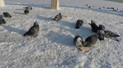 Pigeons eating bread on on frozen lake. Stock Footage