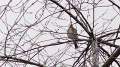 Fieldfare in winter Stock Footage