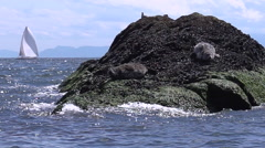 Seal  young pups- Vancouver BC Stock Footage