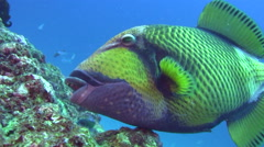 Titan triggerfish (Balistoides viridescens) eating Stock Footage