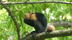 Capuchin monkey very busy to eat the last pieces out a coconut shell - stock footage