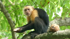 Capuchin monkey finshed with one part of the coconut shell - stock footage
