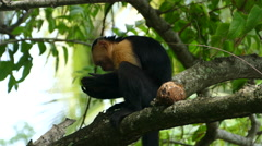 Capuchin monkey in a tree eating fast from a coconut in Montezuma Stock Footage