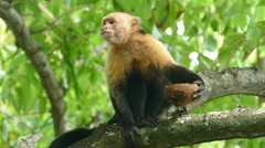 Capuchin monkey in a tree eating from a coconut Stock Footage