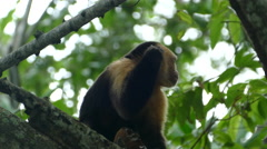 Close up from a capuchin monkey in a tree with a itchy ear - stock footage