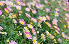 Stock Photo of Purple Daisy flower feild in daylight