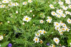 Daisy flower feild in daylight - stock photo