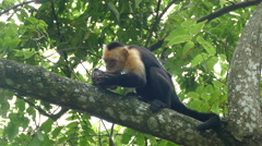 Capuchin monkey in a tree eating pieces out a coconut shell - stock footage