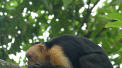 Capuchin monkey eating from a coconut and look up in Montezuma Stock Footage
