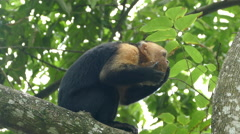 Capuchin monkey eating from a coconut and turns around Stock Footage
