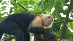 Capuchin monkey chewing at coconut pieces Stock Footage