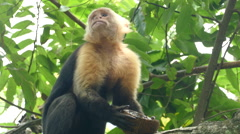 Capuchin monkey turns around while eating from a coconut Stock Footage