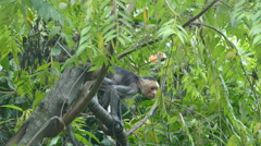 Old itchy Capuchin monkey in the forest Stock Footage
