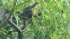 Young Capuchin monkey eating from a tree Stock Footage