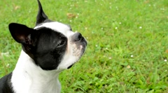 Woman gives dainty to french bulldog in the park - reward for training  Stock Footage