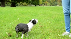 woman train her french bulldog - dog jumps and twirls in the circuit - stock footage