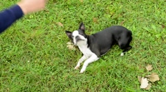 Woman trains french bulldog in the park - trick roll barrels Stock Footage