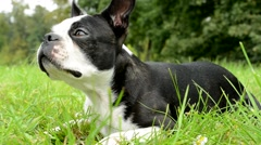 French bulldog lie on the ground in the park - dog sniff and blink Stock Footage