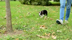 young attractive woman attach french bulldog leash to the tree and leave him  - stock footage