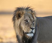 Lion Panthera leo looking back Kgalagadi Transfrontier Park Northern Cape - stock photo