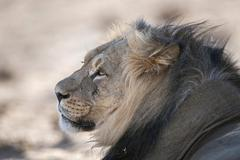 Lion Panthera leo portrait Kgalagadi Transfrontier National Park Northern Cape - stock photo
