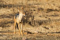 Stock Photo of Blackbacked jackal Canis mesomelas Samburu National Reserve Kenya Africa