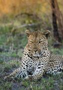 Leopard Panthera pardus male Sabie Sands Game Reserve Sabi Sabi Bush Lodge - stock photo