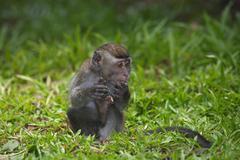 Crabeating macaque Macaca fascicularis young in the grass Bako National Park Stock Photos