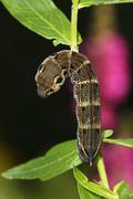 Elephant Hawkmoth Deilephila elpenor brown caterpillar just before pupation - stock photo