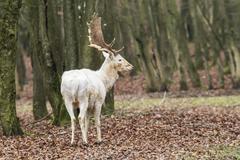 Stock Photo of White Fallow Deer Dama dama in the forest Vulkaneifel Eifel
