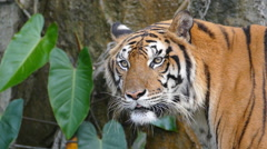 Portrait of a Bengal tiger. Stock Footage