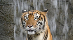 Bengal tigers is yawning. Stock Footage