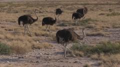 Wild Ostriches in Etosha Park, Namibia Stock Footage