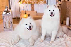 Samoyed dog near christmas decoration. White fluffy dog. - stock photo
