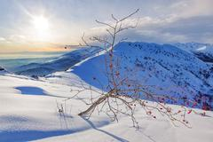 Whitebeam tree (Sorbus aria) in a snowy mountain landscape. - stock photo