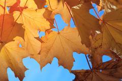 Stock Photo of Yellow Maple Autumn Leaves  in Aberdeen, Scotland UK.