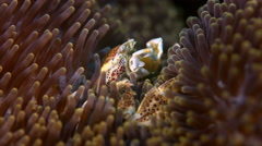 Spotted Porcelain Crab Stock Footage